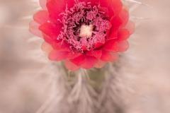 Bolivia - La Paz - cactus bloom 11