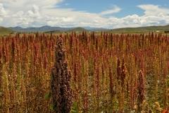 Bolivia - Altiplano - quinoa 13