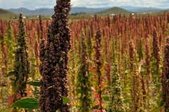 Bolivia - Altiplano - quinoa 12