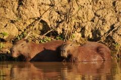 Bolivia - Santa Rosa de Yacuma - capibara 4