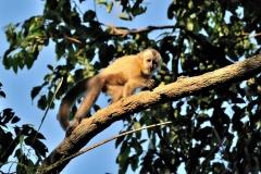 Bolivia - Santa Rosa de Yacuma - monkey 8