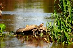 Bolivia - Santa Rosa de Yacuma - turtle 5