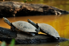 Bolivia - Santa Rosa de Yacuma - turtle 19