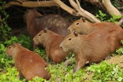 Bolivia - Santa Rosa de Yacuma - capibara 10
