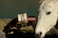 Bolivia - Apolobamba - mule 24