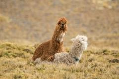 Bolivia - Apolobamba - alpaca 25