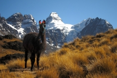 Bolivia - Cordillera Real - Condoriri - lama 28