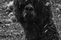 Bolivia - Cordillera Real - Condoriri - alpaca 32