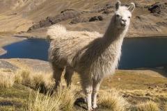 Bolivia - Cordillera Real - Condoriri - lama 29