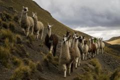 Bolivia - Cordillera Real - Condoriri - lama 30