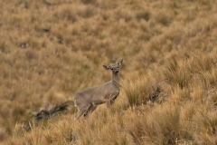 Bolivia - Sorata - taruca - (Hippocamelus antisensis) 26