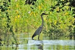 Bolivia - Santa Rosa de Yacuma - bird 13