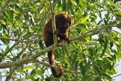 Bolivia - Santa Rosa de Yacuma - monkey 7