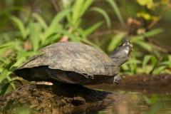 Bolivia - Santa Rosa de Yacuma - turtle 18