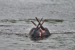 Bolivia - Santa Rosa de Yacuma - bufeo - river dolphin - (Inia geoffrensis boliviensis) 3