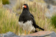 Bolivia - Cordillera Real - Condoriri - bird - Alkamari - Ave Maria 34