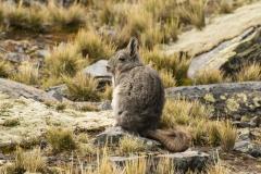 Bolivia - Cordillera Real - Condoriri - vizcacha 35