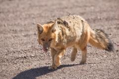 Bolivia - Laguna Honda - Andean fox 38