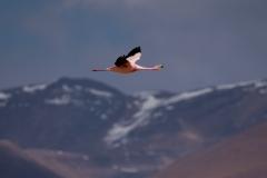 Bolivia - laguna Colorada - flamingo 40