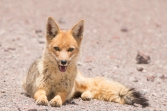 Bolivia - Laguna Honda - Andean fox 39