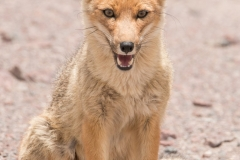 Bolivia - Laguna Honda - Andean fox 37