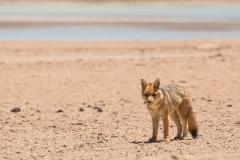 Bolivia - Laguna Honda - Andean fox 36