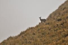 Bolivia - Sorata - Mapiri - trail - taruca - (Hippocamelus antisensis) 50