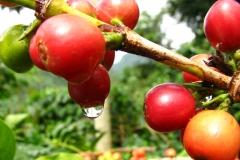 Bolivia - Yungas - Caranavi - coffee 31