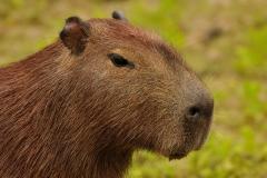 Bolivia - Santa Rosa de Yacuma - capibara 11