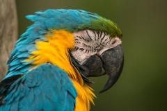 Bolivia - Yungas - Coroico - bird 20